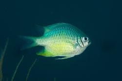 BD-130713-Maldives-0452-Chromis-atripectoralis.-Welander---Schultz.-1951-[Black-axil-chromis].jpg